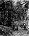 Trees in the forest, June 24, 1899 (WASTATE 2565).jpeg