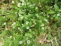 TrifoliumCaffarella.JPG