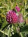 Trifolium alpestre 002.jpg