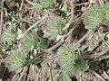 Trifolium cherleri013.jpg