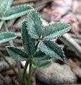 Trifolium gymnocarpon var plummerae 3.jpg