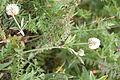 Trifolium montanum IMG 8828 bakkeklöver hovedöya.JPG
