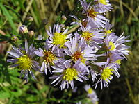 Tripolium pannonicum (flowers).jpg