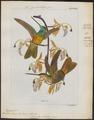 Trochilus bonapartei - 1820-1860 - Print - Iconographia Zoologica - Special Collections University of Amsterdam - UBA01 IZ19100303.tif