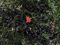 Trombidiidae - Ácaro rojo de terciopelo (8559610182).jpg
