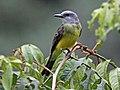 Tropical Kingbird MachuPiccu RWD2.jpg