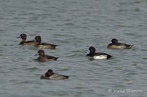 Patna Bird Sanctuary - Tuffed Duck and Fargusion Ducks