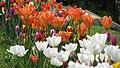 Tulips - Botanic Garden - Cluj Napoca (2438559675).jpg