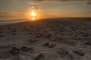 Olive ridley sea turtle - Nesting