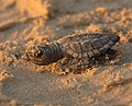 Turtle hatchling close-up, Texas (5984381381).jpg
