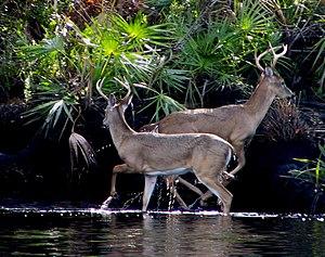Jonathan Dickinson State Park - Image: Two Bucks