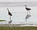 Two Herons (31349668406).jpg