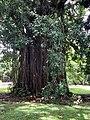 Un tronc en lianes au jardin de Pamplemousses (mars 2020).jpg