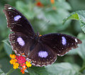 Unidentified butterfly 03.jpg