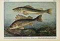 Unsere Süßwasserfische (Tafel 8) (6103142132).jpg