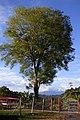 Urapán (Fraxinus udhei) (14771752778).jpg