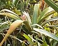 Ursulaea macvaughii BotGardBln11302010A.jpg