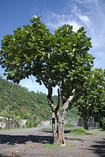 List Of Indian State Trees Wikipedia