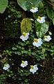 Utricularia striatula 01.JPG