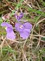 Utricularia tricolor (1).jpg