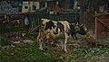 Vacca bagnata.jpg