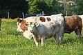 Vaches allée Pré Brus St Cyr Menthon 25.jpg