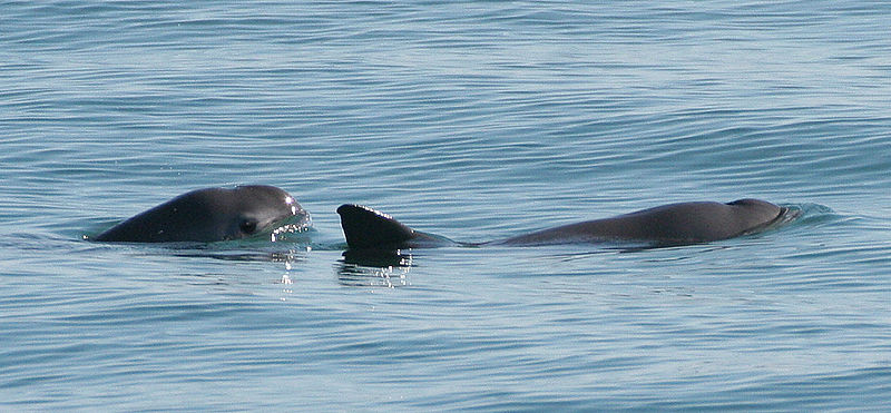 Vaquita Porpoises in the Gulf of California