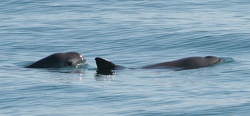 Vaquita Porpoises in the Gulf of California