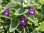Variegated Cuban Oregano 'Variegatus' (Plectranthus amboinicus) 2.jpg