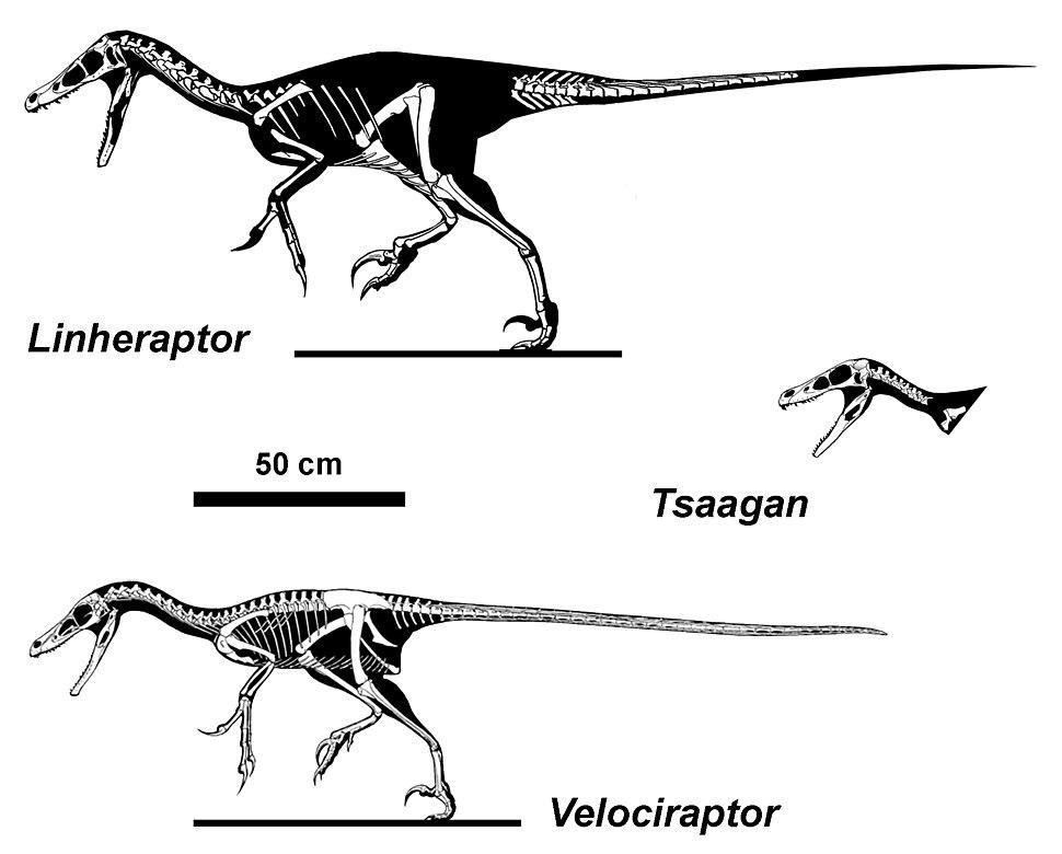 Velociraptorines