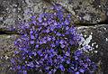 Veronica peduncularis Georgia Blue - Kew Gardens.jpg