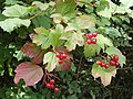 Viburnum opulus fruit and leaves in hedge, Sudbury Valley Walk - geograph.org.uk - 233701.jpg