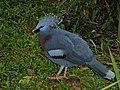 Victoria Crowned-pigeon Goura victoria (7116190723).jpg