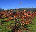 Vineyard in Napa Valley 4 edit1.jpg