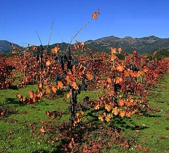Napa Valley AVA - Mature Napa vines