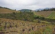 Vineyards in Berlou 02.jpg
