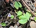 Viola vaginata s10.jpg