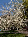 Virágzó meggyfa1.jpg