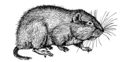 Vole (PSF).png