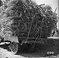 """Voz s škalirjem, naložen s pšenico. Zadaj se vidi kako privežejo ždr z vrvjo na """"kaluvret"""", Dobrovo 1953.jpg"""