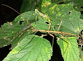 Walkingstick - Diapheromera femorata.JPG