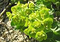 Walzen-Wolfsmilch (Euphorbia myrsinites).jpg