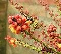 Wasp on Mahonia blossom (29875587195).jpg