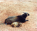 Water Buffalo and her calf at the Pearl Coast Zoo.jpg