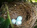 Waxeye Eggs Greytown New Zealand December 2012.jpg