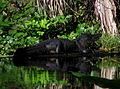 Wekiwa State Park - Alligator.jpg