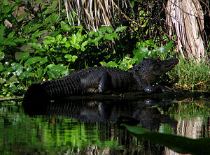 Wekiwa Springs State Park - Alligator near the springs