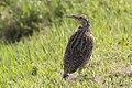 Western Meadowlark (16460612337).jpg