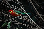 Western Rosella in branches.jpg