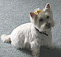 WestieWithBow.jpg